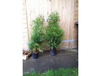 2 x leylandii trees in pots. just over 1m height.