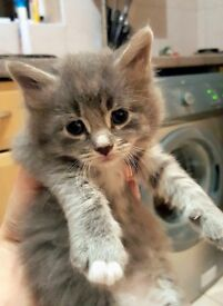 Maine Coon X kitten available now
