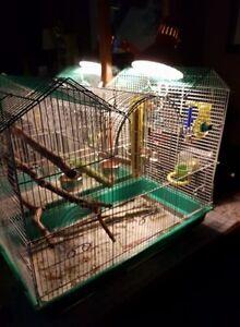 Green Wing Parakeet