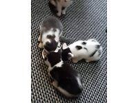 Boy kittens black and white