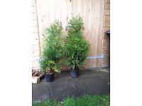 2 x small leylandii trees in pots. just over 1m tall