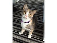 Missing kitten paisley area