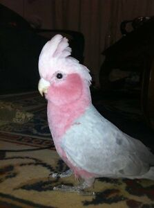 Pink and Grey Gallah Albany Albany Area Preview