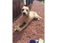 LOST 'Lilah' Australlian Cattle Dog