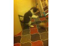 Blue Persian cross kitten