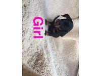 Mine dachshund puppy's