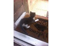 Blue Persian Cross Male Kitten
