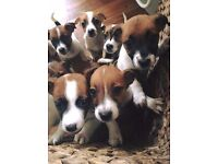 2 Male Jack Russell Pups for Sale