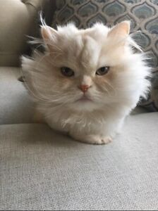 bite noire sur la chatte blanche
