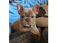 French bulldog girl health tested and DNA tested