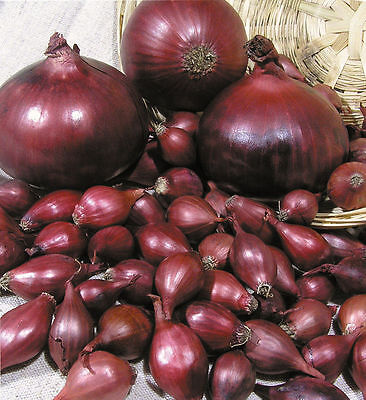 Onion Seeds Red Baron Vegetable Seed from Ukraine