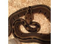 Female CB16 Enchi Leopard Woma Royal Python