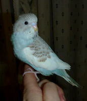 Free budgie to someone who can hand-feed to wean