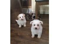 Shih Tzu (zuchon/Teddybear) Puppies