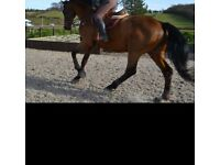 17hh gelding for full/part loan