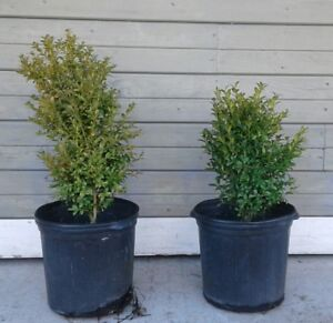 English Boxwoods for Sale