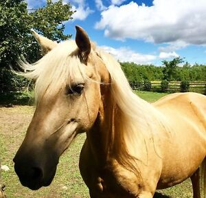 Gorgeous Palomino Mare Looking for Companion Home