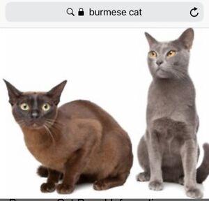 Wanted: WTB Burmese kitten