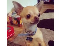 Chihuahua dog for sale.. 2years+3 month pedigree
