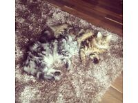 Two beautiful pedigree Maine Coon cats (boy & girl age 4 & 2) Lovely natured
