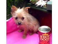 YORKY x POMERANIAN pups. 1 black girl, 4 boys. These pups are very small. Delivery pos. Ready now.