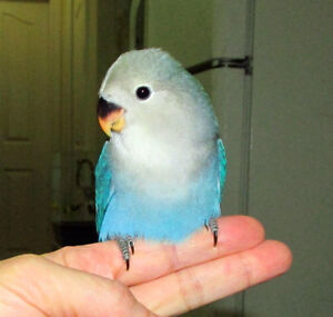 SUPER TAME baby lovebird (whiteface blue)==ON HOLD