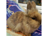 purebred lionhead baby male bunny (buck)