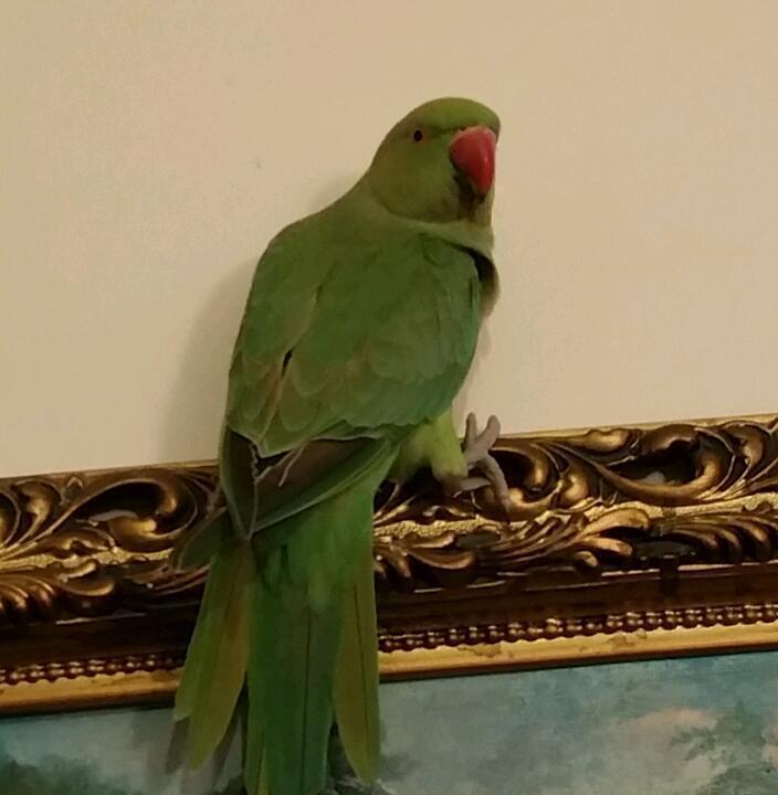 Ringneck Parrot For Sale uk Indian Ringneck Parrot For Sale