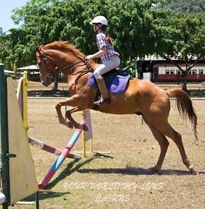 16.3hh Australian stock horse x Thoroughbred Gelding Cairns Cairns City Preview