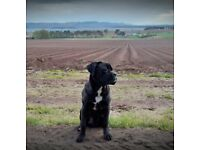 Cane Corso 1 year old