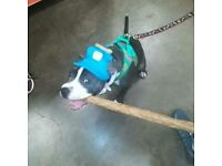 Fully trained 5 months old blue female stunning staffy