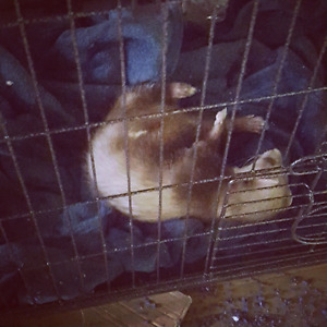 Ferret & Cage for Sale