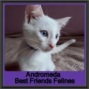 Andromeda - Best Friends Felines