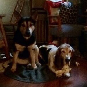 gentle basset hound looking for a home with family
