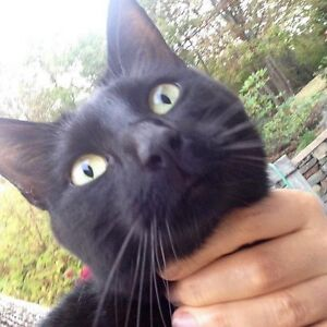 Black cat found in Clayton park, may have travelled a distance