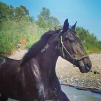Beautiful Mare for Sale !