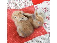Baby bunny Rabbits. Holland lop cross Rex.
