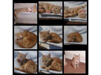 6 month ginger cat