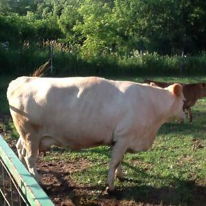 Boeuf vache West Island Greater Montréal image 1