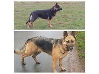Friendly German Shepherd puppies