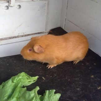 Guinea Pig male