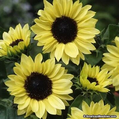 Sunflower- Moonshine- 100 Seeds- BOGO 50% off SALE