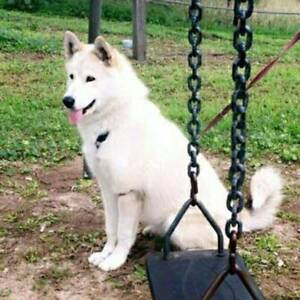 Malamute - Female, 10 months old Lansvale Liverpool Area Preview