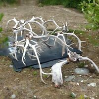 Caribou and moose antlers