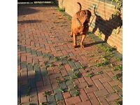 Male French Mastiff for sale