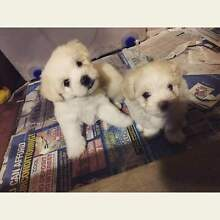 Maltese Shitzu puppies Paralowie Salisbury Area Preview