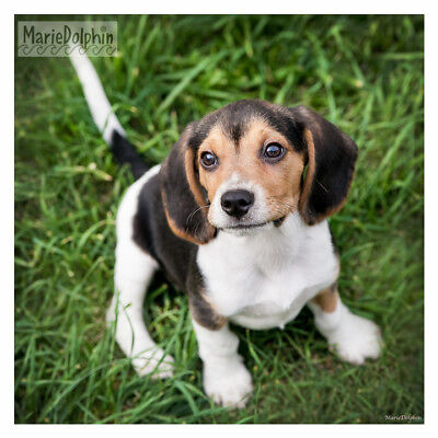 Baby BEAGLE PUPPY DOG on Green Grass cute lil FACE fine ART Pet photography for sale  Redondo Beach