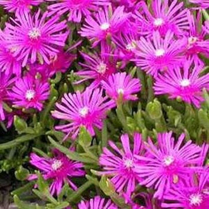 BOGO 50/% off SALE 25 Seeds Ice Plant Table Mountain