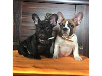 Lovley French Bulldog Puppies for Sale!