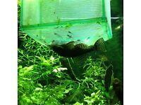 Bristlenose catfish fry